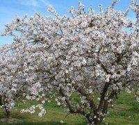 Sagra del mandorlo in fiore  Agrigento