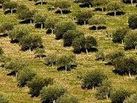 Monti Iblei (DOP) olio extra vergine di oliva